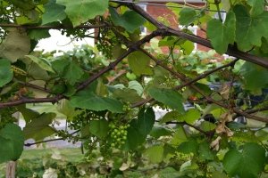 we will have boatloads of grapes!